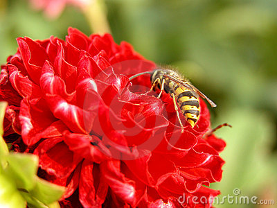 Wasp and red flower Stock Photo