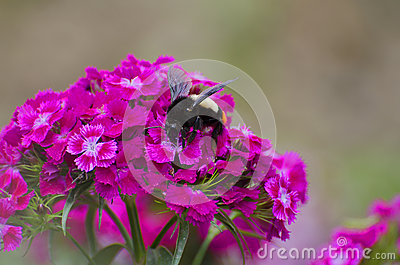 WASP ON RED FLOWERS Stock Photo