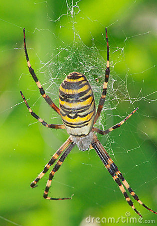 Free Wasp Spider Royalty Free Stock Photo - 23391255
