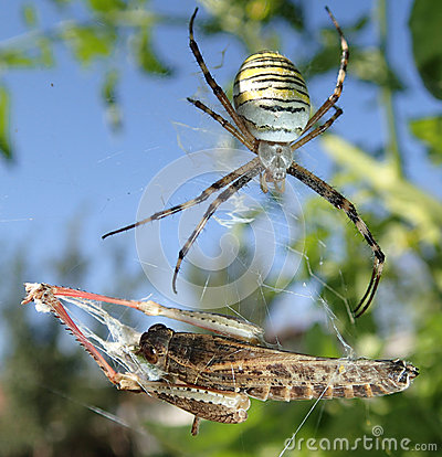 Free Wasp Spider And Locust Stock Images - 45310894