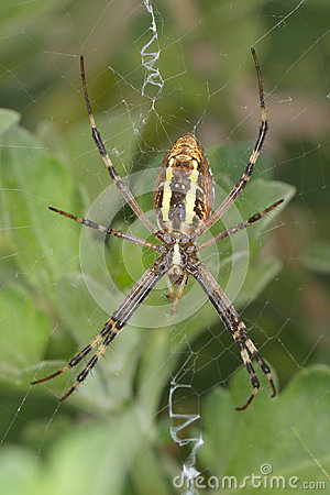 Wasp spider - Argiope bruennichi