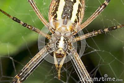 Wasp spider - Argiope bruennichi  close-