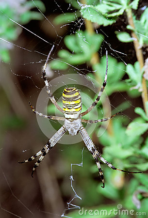 Wasp Spider hanging on web. Argiope bruennichi
