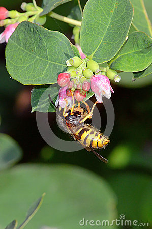Free Wasp Taking Pollen From A Snowberry Flower Head Royalty Free Stock Photo - 42975615