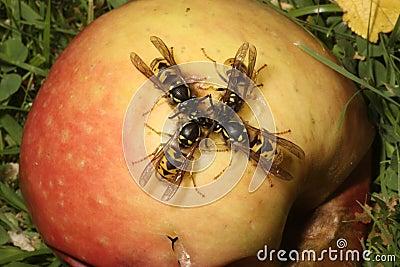 Wasp, Vespula vulgaris