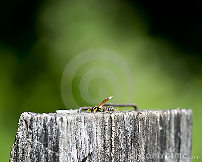 Wasp on wooden post