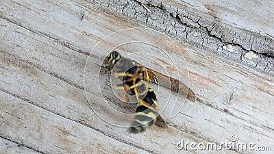 Waspreactie op insectenwerend middel Fogatie Afbraak van insecten Dood van een wesp stock footage
