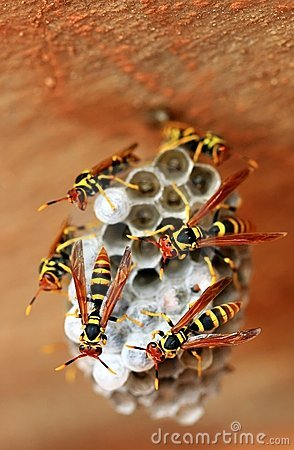 Free Wasps Royalty Free Stock Image - 5612106