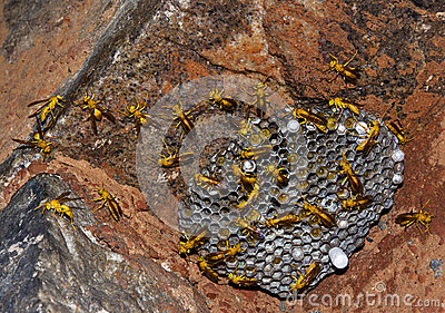 Wasps at hive