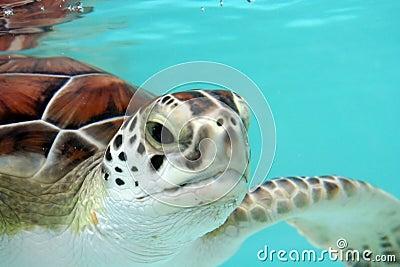 Wasser-Schildkröte