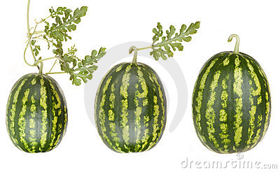 Wassermelonefrüchte mit Blättern