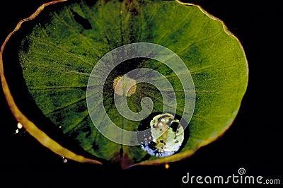 Wassertropfen auf Lotosblatt.