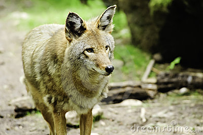 Watchful Coyote