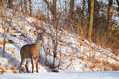 Watchful deer
