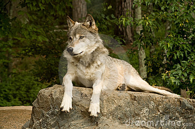 Watchful great plains wolf