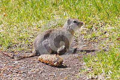 Watchful Ground Squirrel