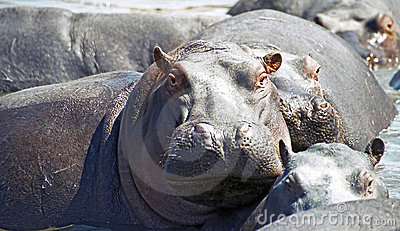 Watchful hippo