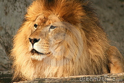 Watchful lion