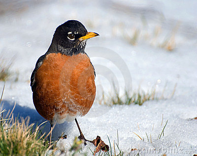 Watchful robin on snow