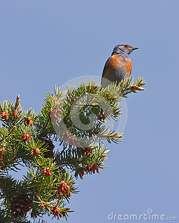 Watchful western bluebird