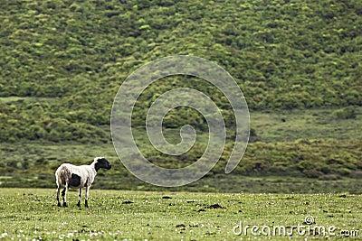 Watching Ewe