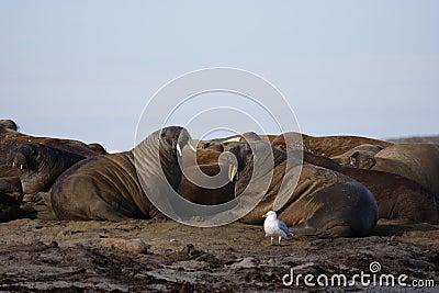 Watching a Walrus haulout
