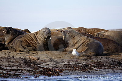 Watching a Walrus haulout