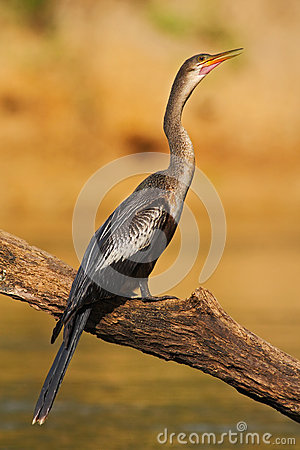 Free Water Bird Anhinga In The River Nature Habitat. Water Bird From Costa Rica. Anhinga In The Water. Bird With Log Neck And Bill. Stock Images - 75951244