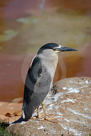 Water Bird -  Heron Royalty Free Stock Image - Image: 10290526