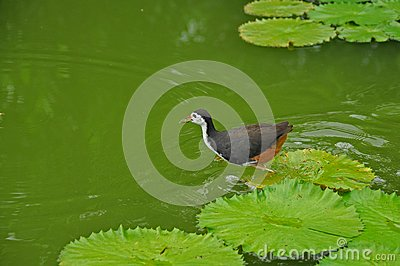 Water bird and water lily in the pond
