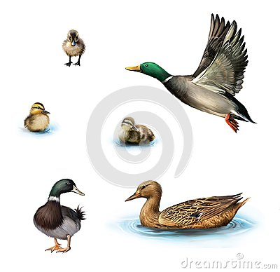 Free Water Birds, Flying Duck, Duck In The Water, Standing Male Duck, Ducklings In The Water, Isolated On White Background. Royalty Free Stock Images - 30637999