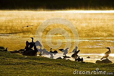 Water Birds at Sunrise