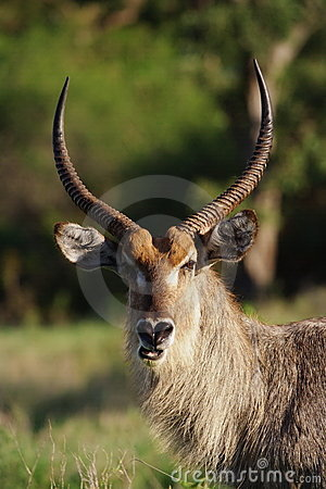 Water-buck male
