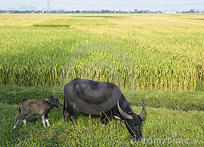 Water Buffalo and Calf in Rice Field