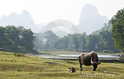 Water Buffalo in China