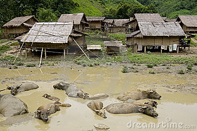 Water buffalo in front of Hmong village, Laos