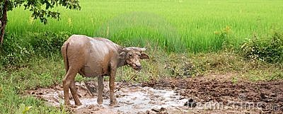 Water Buffalo in Mud
