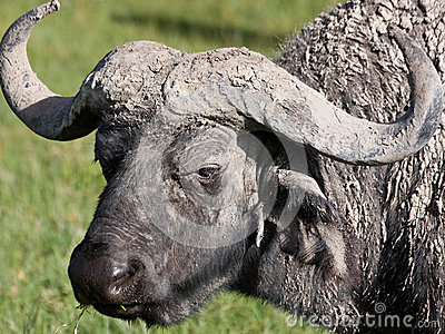 Water Buffalo Portrait