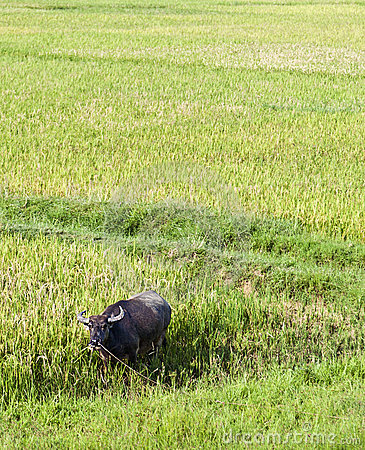 Water Buffalo in Rice Paddy