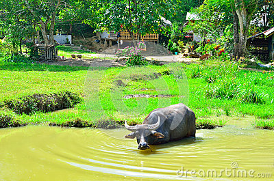Water buffalo in river