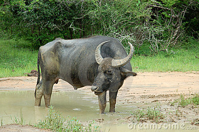 Water buffalo at Yala National Park, Sri Lanka