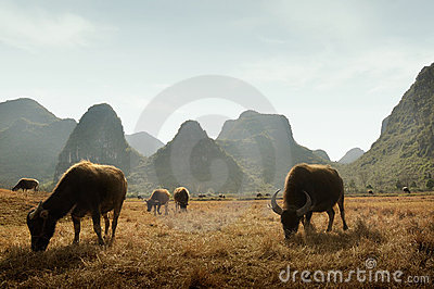 Water Buffaloes and Guilin mountains