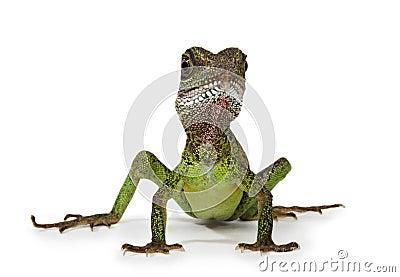 Water dragon lizard