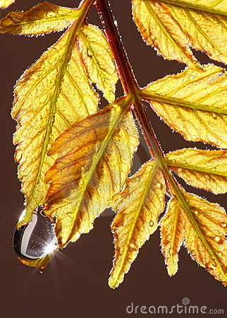 Water drop on Autumnal leaves