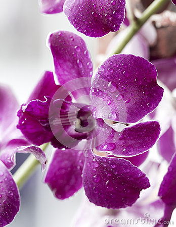Water drop on beautiful puple orchid
