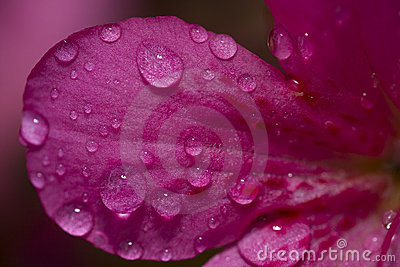 Water drop on a flower petal
