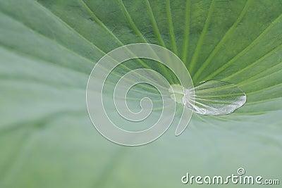 Water drop with lotus leaf