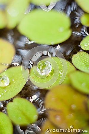 Free Water Drop On Duckweed Stock Photos - 29163483
