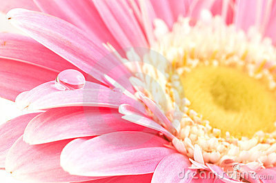 Water drop on pink daisy