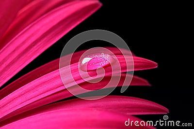 Water drop on pink Gerbera flower